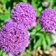 Lilac garden flower — Stock Photo