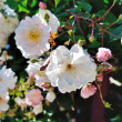 Shrub white roses in the garden — Photo