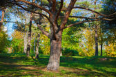 Big branchy tree — Stock Photo