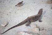 Marine iguana — Stock Photo