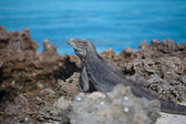 Marine iguana — Stock Photo