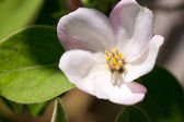 Blossoming quince — Stock Photo