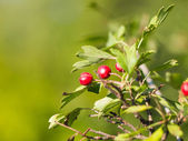 Hawthorn branch with fruits — Stock Photo