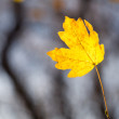 Stock Photo: Autumn. Lone yellowed sheet.