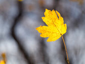Autumn. Lone yellowed sheet. — Stock Photo