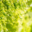 Spring green leaves of birch tree — Stock Photo