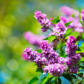 Beautiful flowering flowers of lilac tree at spring — Stock Photo