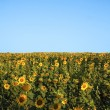 Outstanding sunflower — Stock Photo