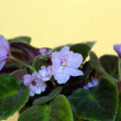 African violet with dark purple to white variegation in bright p — Stock Photo