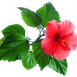 Stock Photo: Hibiscus rosa-sinensis red