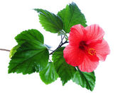 Hibiscus rosa-sinensis red — Stock Photo