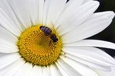 Miel de abeja en margarita blanca — Foto de Stock
