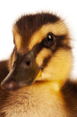Domestic duckling — Stock Photo