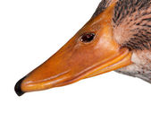 Domestic duck — Stock Photo