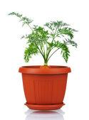 Carrot in plastic pot — Stock Photo