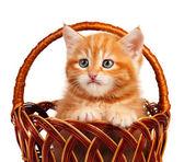 červené kotě — Stock fotografie