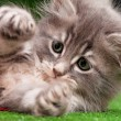 Stock Photo: Cute gray kitten