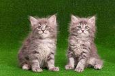 Cute gray kittens — Stock Photo