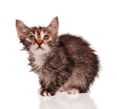 Wet kitten — Stock Photo