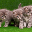 Cute gray kittens - 图库照片