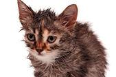 Wet kitten — Stock Photo