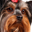 Yorkshire terrier — Stock Photo #23677139