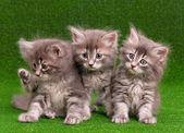 Lindos gatitos grises — Foto de Stock