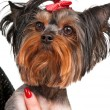 Yorkshire terrier — Stock Photo #33893931