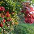 Red viburnum lit evening light — Stock Photo