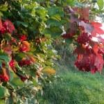 Red viburnum lit evening light — Stock Photo #29752209