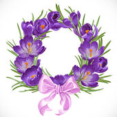 Wreath of purple crocus with pink ribbon — Stock Vector
