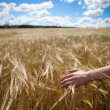 Wheaten field. — Stock Photo