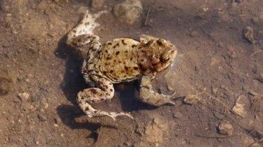 European toad, (Latin: Bufo bufo) calmly sitting — Stock Video