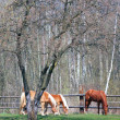 Horses grazing in field — Stock Photo