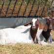 Stock Photo: Goats in pen