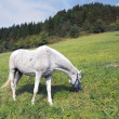Stock Photo: White horse grazing