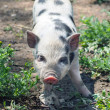 Stock Photo: Cute piglet