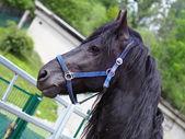 Black horse portrait — Stock Photo