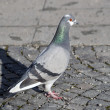 Grey Rock Dove or Common Pigeon — Stock Photo