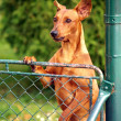 Stock Photo: Dog looking over fence