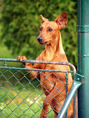 Dog looking over fence — Stock Photo