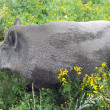 Stock Photo: Wild boar (Sus scrofa) in vegetation