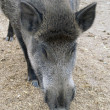 Wild boar (Sus scrofa) head closeup — Stock Photo