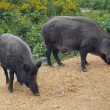 Two wild boars sniffing — Stock Photo