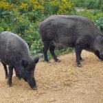 Постер, плакат: Two wild boars sniffing