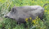 Wild boar (Sus scrofa) in vegetation — Stock Photo