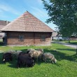 Sheep in Pribyina skanzen, Slovakia — Stock Photo