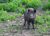 Wild pig or boar — Stock Photo