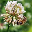 Bee pollinating clover flower — Foto Stock