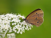 Butterfly (Coenonympha) on white flower — Stock Photo